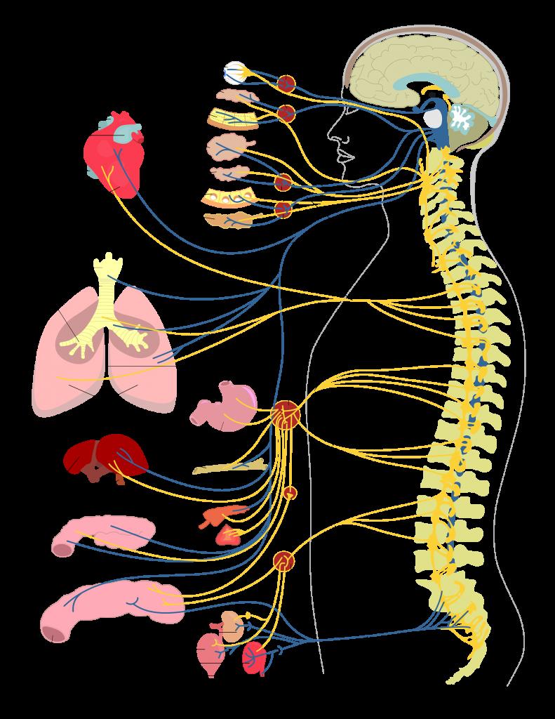 Vital Life Chiropractic spine function illustration