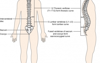The Importance of Proper Spinal Curves